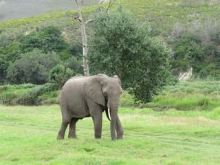 Roaming elephant