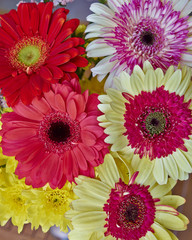 variety of colorful Gerber daisy flowers closeup