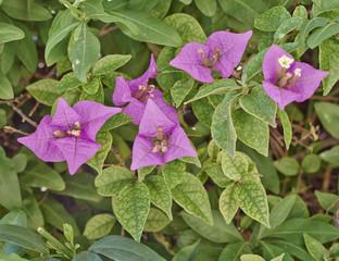bougamvillea flowers closeup in the garden