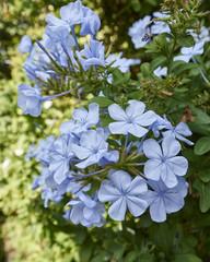 light blue jasmine flowers bouquet closeup, natural background
