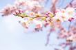 Leinwanddruck Bild - blühender kirschbaum