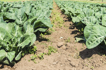 Cultivated field of cabbages