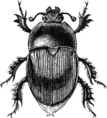 Vintage graphic beetle scarab