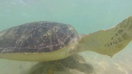 Slow motion of turtle being fed seaweed by local man to entertain tourists