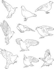 ten white dove sketches collection