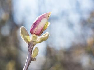 Magnolia Flower Bud Blossom In Spring