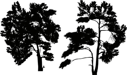 two large black pine silhouettes isolated on white