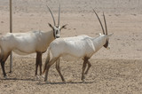 antilopes bahrein