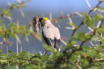 Wattled starling on a wattle