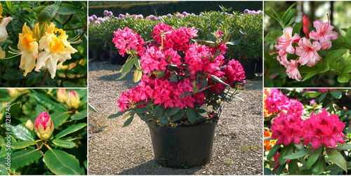 Sale of rhododendrons