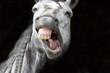 Leinwanddruck Bild - Laughing Horse Funny Happy White Smiling Teeth