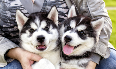 adorable husky Puppy in the hands of the owner