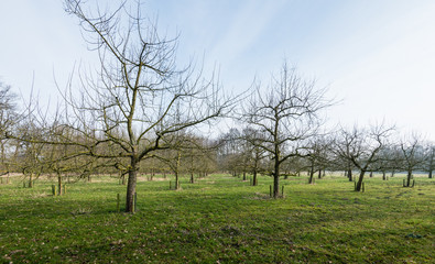 Traditional orchard with half standard cherry trees