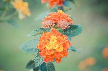 Cloth of gold or Lantana camara flower vintage