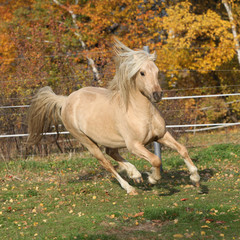 Gorgeous welsh pony of cob type running in autumn
