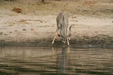 kudu at the river