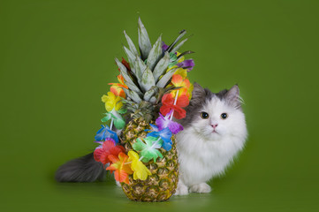 fluffy cat and fruits isolated on a green background