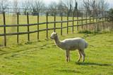 White Alpaca like llama coat is used for wool