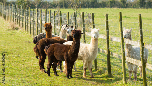 Staande foto Lama Group of Alpacas by a fence brown white
