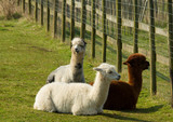 Group of Alpacas lying down resting South America