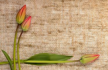 frame of tulips on burlap background