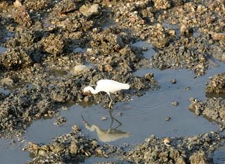 oiseau chassat des huitres à marrée basse
