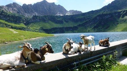 funny view of  goats and great view of nature