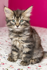 small fluffy kitten sitting on a bed. Siberian breed