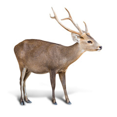 Eld deer isolated