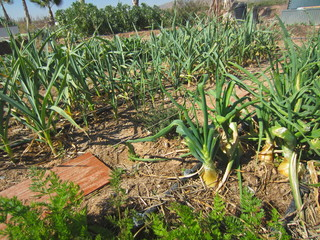 leeks onions and garlic with drip irrigation