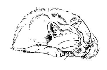 sleeping cat. Sketch