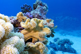 coral reef with coral  sarcophyton in tropical sea, underwater