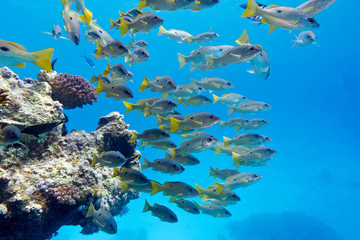 coral reef in tropical sea with shoal of goatfishes,  underwater
