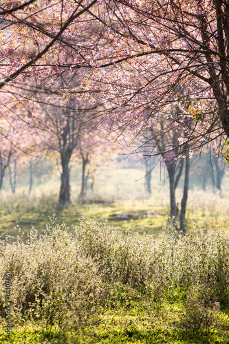Fotobehang Kersen Cherry blossom background