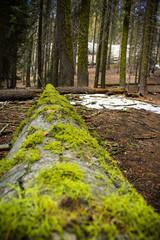 umgefallener Baum im Sequoia National Park