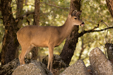 Black-Tailed Deer in Yosemite National Park