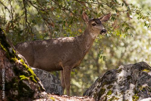Fotobehang Ree Black-Tailed Deer in Yosemite National Park