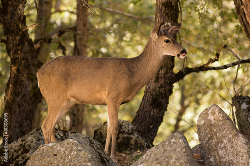 Fotobehang Ree Black-Tailed Deer in Yosemite National Park
