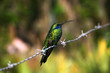 Hummingbird sitting on the barbed wire