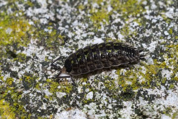 Pill-bug (Isopoda) walking on a rock