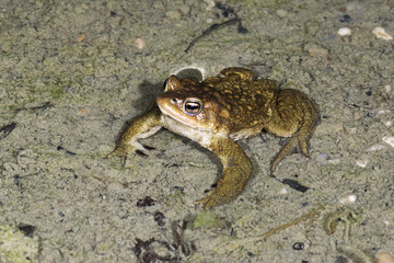 Common toad (Bufo bufo) in the breeding site