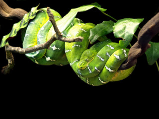 Emerald Tree Boa (Corallus caninus) Snake at Skansen, Stockholm