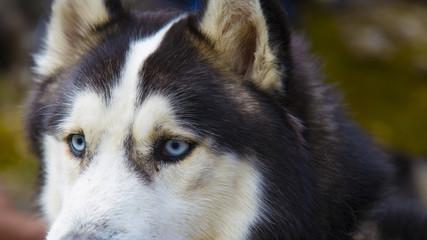 Blue eyed Husky dog portrait