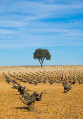 wine, vineyards tree field with blue sky
