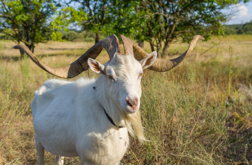 Portrait of Ukrainian goat with abnormally enormous horns
