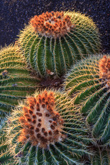Mother in laws cushion or Golden ball barrel cactus (echinocavtu