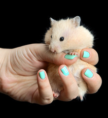 little hamster straw colored in hand