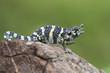 Leinwandbild Motiv Melleri's Chameleon (Chameleo melleri) posing on a rock