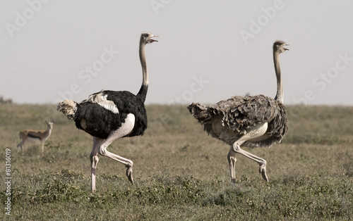 Keuken foto achterwand Struisvogel Africa, Tanzania Serengeti National Park, ostrich