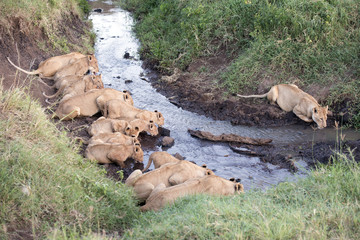 Ngorongoro crater area , lions with cubs drinking